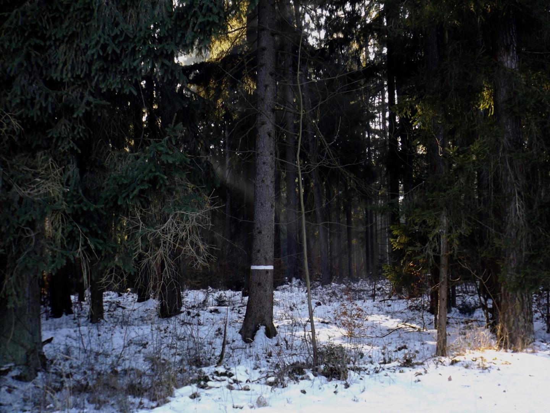 Sonnenstrahl im Hirschwald