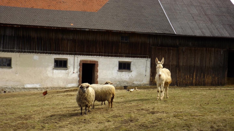 Schafe und der erste Esel