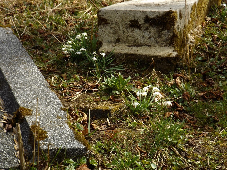 Schneeglöckchen im Friedhof