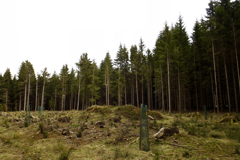 Waldverjüngung
