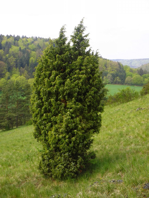 Ein typischer Karstbaum: Wacholder