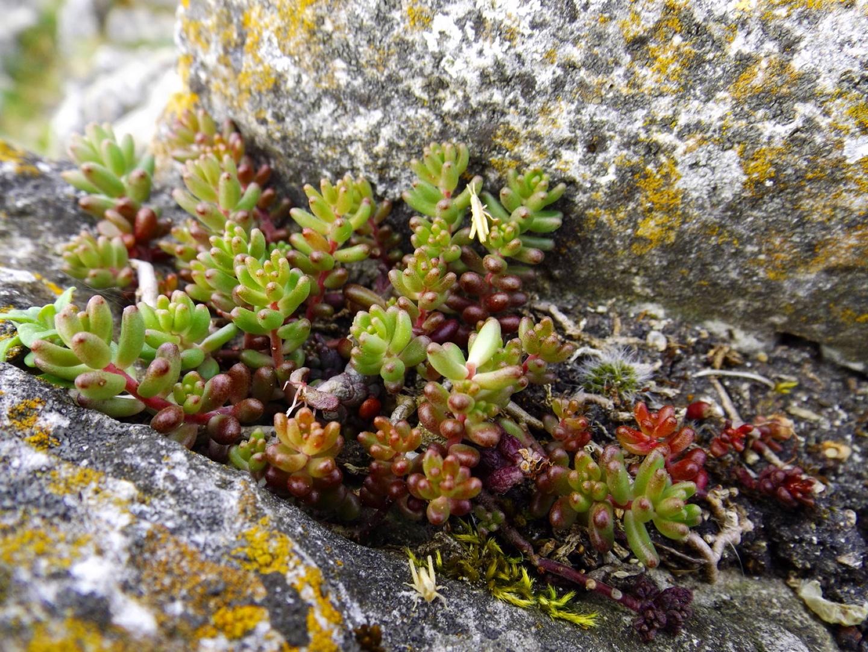 Typische Karstpflanze mit hoher Wasserspeicherkapazität. Man weiß ja nie wann wieder etwas hier oben stehenbleibt