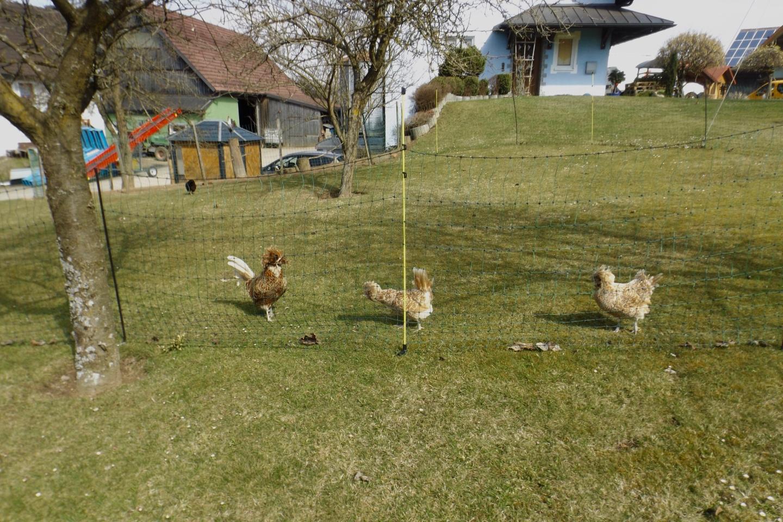 Seltene Hühnerrasse mit Gockel