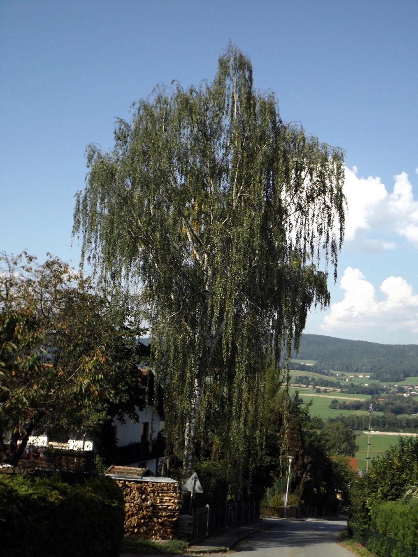 Wunderbare Birke