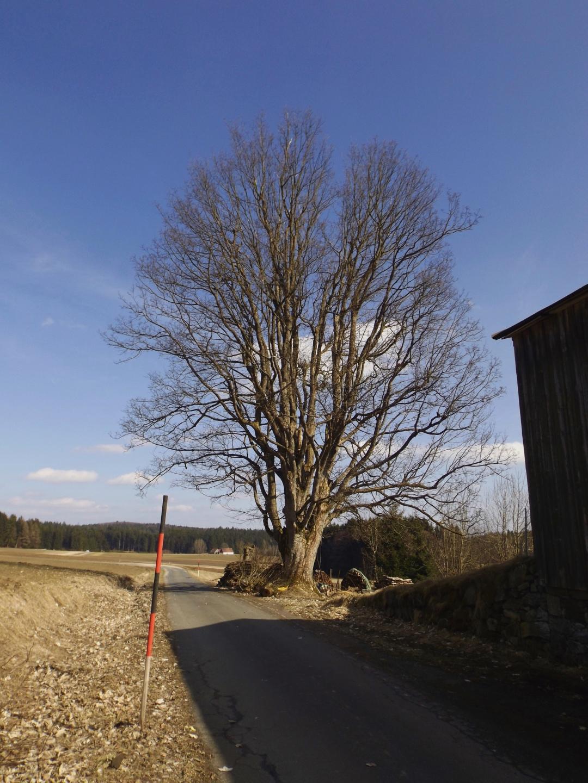 Markanter Baum an der Oberen Kellermühle