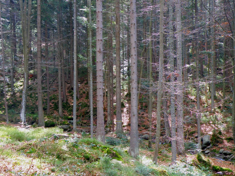 Finster ist der Wald, aber ab und zu schaffen es doch vereinzelte Lichtstrahlen zum Boden