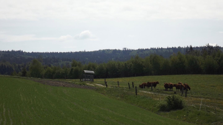 Glückliche Kühe vor dem Havran