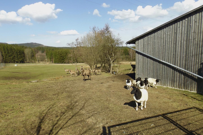 Hirschgehege mit Schafen