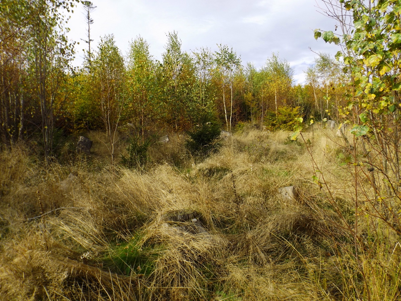 Birkennachpflanzung
