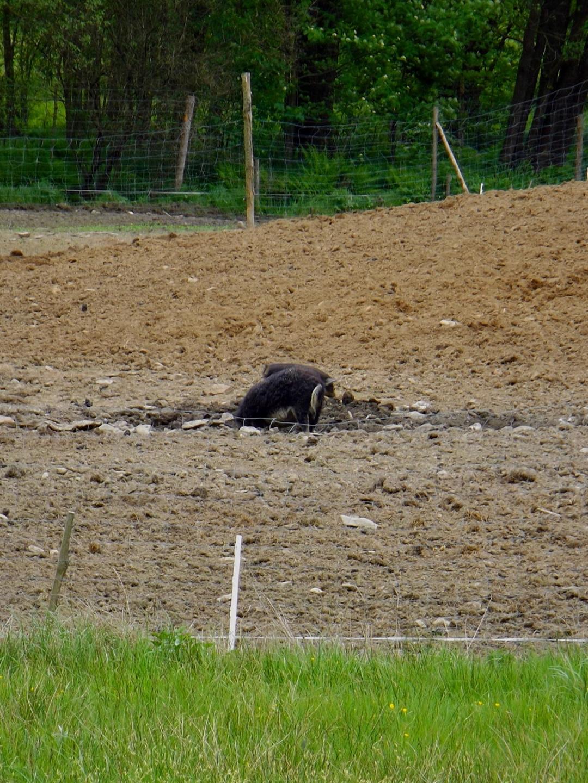 Wild- oder besondere Hausschweinsrasse?