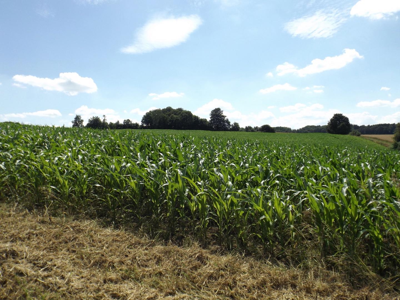 Ohne Kunstdünger ist der Mais gleich mal einen Meter kleiner als in Schwandorf