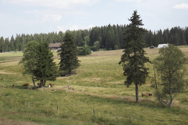 Jetzt grasen hier glückliche Kühe